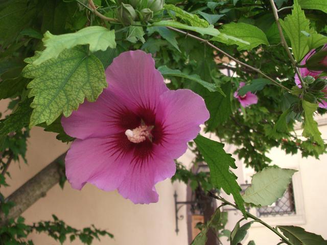 trevi-hibiscus